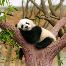 Panda Szalon
